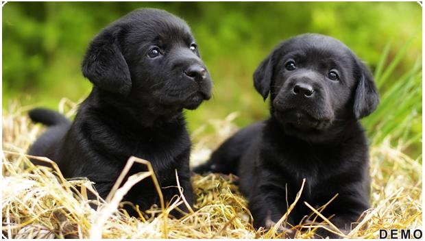 Dog Breeding Services